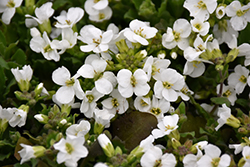 Snowcap Wall Cress (Arabis caucasica 'Snowcap') at The Growing Place