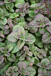Oregano (Origanum vulgare) at The Growing Place