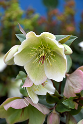 Molly's White Hellebore (Helleborus 'Molly's White') at The Growing Place