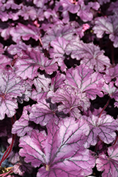 Forever® Purple Coral Bells (Heuchera 'Forever Purple') at The Growing Place