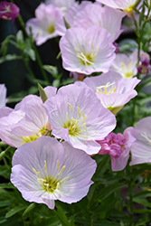 Siskiyou Mexican Evening Primrose (Oenothera berlandieri 'Siskiyou') at The Growing Place
