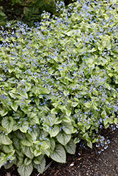Jack Frost Bugloss (Brunnera macrophylla 'Jack Frost') at The Growing Place