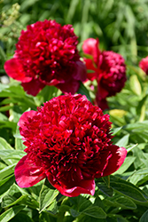 Red Charm Peony (Paeonia 'Red Charm') at The Growing Place