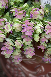 Kirigami Oregano (Origanum 'Kirigami') at The Growing Place