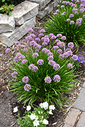 Summer Beauty Ornamental Chives (Allium tanguticum 'Summer Beauty') at The Growing Place