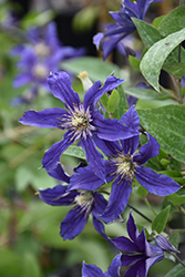 Sapphire Indigo Clematis (Clematis 'Sapphire Indigo') at The Growing Place