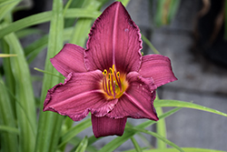 Summer Wine Daylily (Hemerocallis 'Summer Wine') at The Growing Place