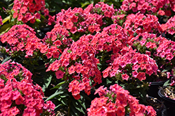 Coral Flame Garden Phlox (Phlox paniculata 'Barsixtytwo') at The Growing Place