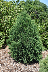 Technito White Cedar (Thuja occidentalis 'Bailjohn') at The Growing Place