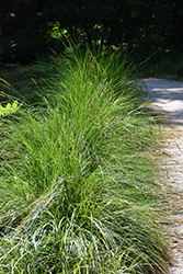 Autumn Moor Grass (Sesleria autumnalis) at The Growing Place