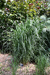 Thundercloud Switch Grass (Panicum virgatum 'Thundercloud') at The Growing Place
