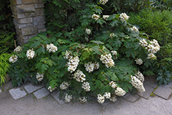 Pee Wee Hydrangea (Hydrangea quercifolia 'Pee Wee') at The Growing Place