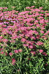 Coral Reef Beebalm (Monarda didyma 'Coral Reef') at The Growing Place