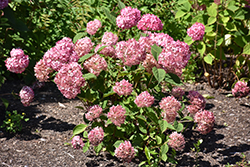 Invincibelle® Ruby Smooth Hydrangea (Hydrangea arborescens 'NCHA3') at The Growing Place
