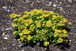 Little Miss Sunshine Stonecrop (Sedum 'Little Miss Sunshine') at The Growing Place