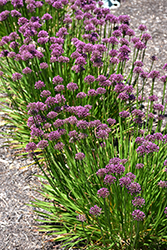 Windy City Ornamental Onion (Allium 'Windy City') at The Growing Place