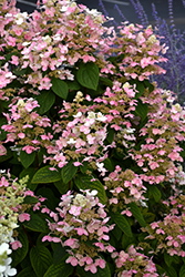 Quick Fire Hydrangea (Hydrangea paniculata 'Bulk') at The Growing Place