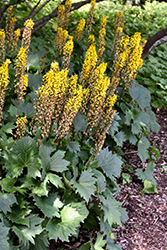 The Rocket Rayflower (Ligularia 'The Rocket') at The Growing Place