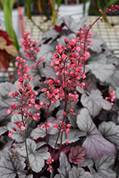 Dolce® Silver Gumdrop Coral Bells (Heuchera 'Silver Gumdrop') at The Growing Place