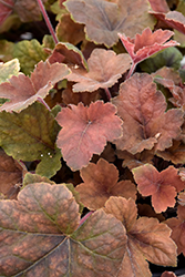 Pumpkin Spice Foamy Bells (Heucherella 'Pumpkin Spice') at The Growing Place