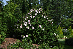 Pink Chiffon® Rose of Sharon (Hibiscus syriacus 'JWNWOOD4') at The Growing Place