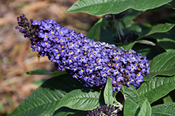 Pugster® Blue Butterfly Bush (Buddleia 'SMNBDBT') at The Growing Place