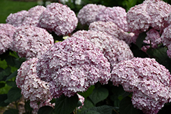 Incrediball® Blush Smooth Hydrangea (Hydrangea arborescens 'NCHA4') at The Growing Place