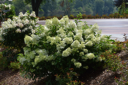 Little Lime Hydrangea (Hydrangea paniculata 'Jane') at The Growing Place