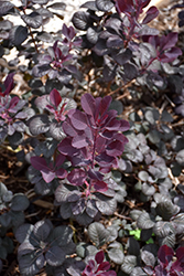 Winecraft Black® Smokebush (Cotinus coggygria 'NCCO1') at The Growing Place