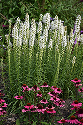 Floristan White Blazing Star (Liatris spicata 'Floristan White') at The Growing Place