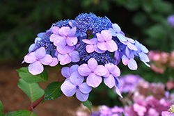 Twist And Shout Hydrangea (Hydrangea macrophylla 'PIIHM-I') at The Growing Place