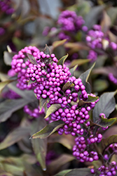 Pearl Glam® Beautyberry (Callicarpa 'NCCX2') at The Growing Place