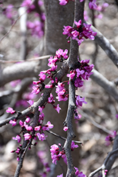 Ruby Falls Redbud (Cercis canadensis 'Ruby Falls') at The Growing Place