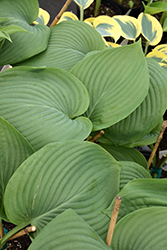Empress Wu Hosta (Hosta 'Empress Wu') at The Growing Place
