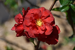 Double Take Scarlet Storm Flowering Quince (Chaenomeles speciosa 'Double Take Scarlet Storm') at The Growing Place