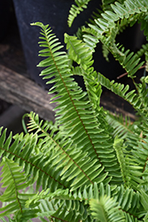 Sword Fern (Nephrolepis cordifolia) at The Growing Place