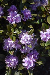 Faisa Rhododendron (Rhododendron 'Faisa') at The Growing Place