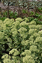 Frosted Fire Stonecrop (Sedum 'Frosted Fire') at The Growing Place