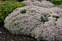 Rock 'N Round™ Pure Joy Stonecrop (Sedum 'Pure Joy') at The Growing Place