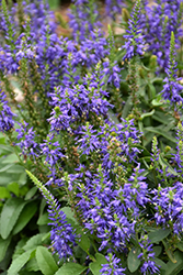 Magic Show® Wizard of Ahhs Speedwell (Veronica 'Wizard of Ahhs') at The Growing Place