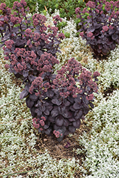 Night Embers Stonecrop (Sedum 'Night Embers') at The Growing Place