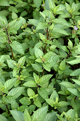 Chocolate Mint (Mentha x piperita 'Chocolate') at The Growing Place