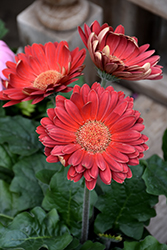 Red Gerbera Daisy (Gerbera 'Red') at The Growing Place