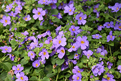 MegaCopa™ Blue Bacopa (Sutera cordata 'Balmecoblu') at The Growing Place