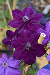 Amethyst Beauty Clematis (Clematis 'Amethyst Beauty') at The Growing Place