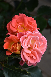 Coral Cove Rose (Rosa 'Coral Cove') at The Growing Place
