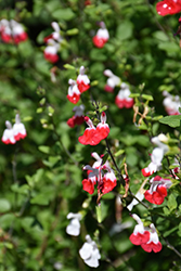 Hot Lips Sage (Salvia microphylla 'Hot Lips') at The Growing Place