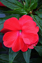 Sonic® Red New Guinea Impatiens (Impatiens 'Sonic Red') at The Growing Place